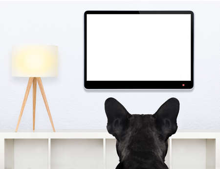 tv room: french bulldog dog in front of a blank and empty tv television or pc computer screen, and watching , in his living room Stock Photo