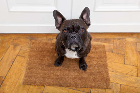 owner: dog ready for a walk with owner begging, sitting and waiting ,on the floor doormat inside their home Stock Photo