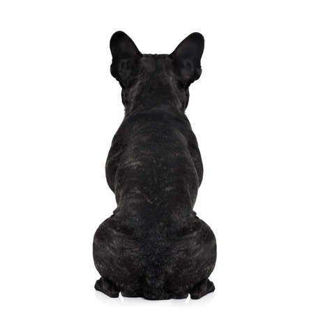 in the back: french bulldog dog looking straight, from behind showing back and  rear torso , while sitting , isolated on white background