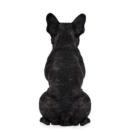 perrito: perro bulldog francés mirando directamente, desde atrás mostrando la espalda y el torso trasero, mientras se está sentado, aislado en fondo blanco