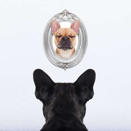 good times: french bulldog dog from back behind , watching or staring his big love in a frame at the wall, remembering old good times Stock Photo
