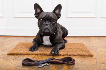 vítejte: francouzský buldoček pes čeká a prosí jít na procházku s majitelem, sedící nebo ležící na rohožku