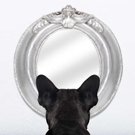 humour: french bulldog dog staring  or looking  at the mirror on the white wall