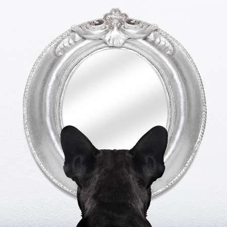 bulldog: perro bulldog francés mirando o buscando en el espejo en la pared blanca