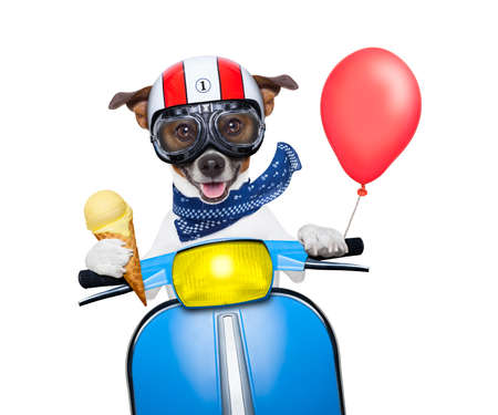 crazy silly motorbike dog with helmet and goggles , holding a waffle of vanilla ice cream cone, isolated on white background