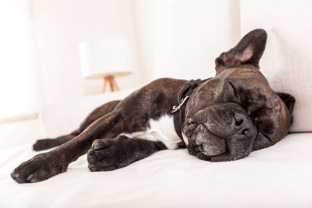 romance bed: french bulldog dog having a sleeping and  relaxing a siesta in living room Stock Photo