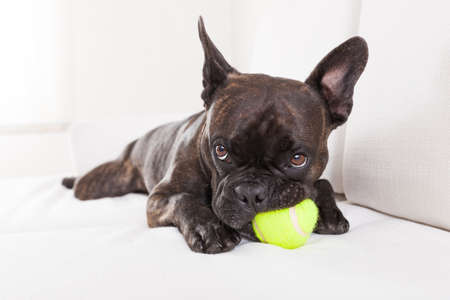 french bulldog dog having  a good time with a tennis ball, in living room , looking at owner very carefully