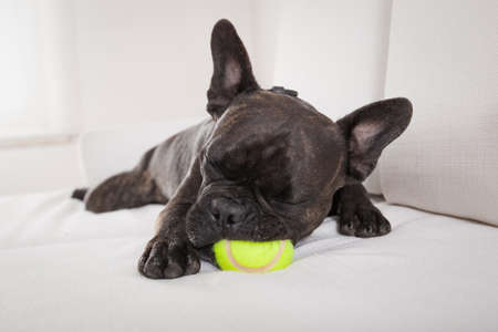 french bulldog dog exhausted and tired after  a play with ball or toy , sleeping ,having a relaxing siesta in living room