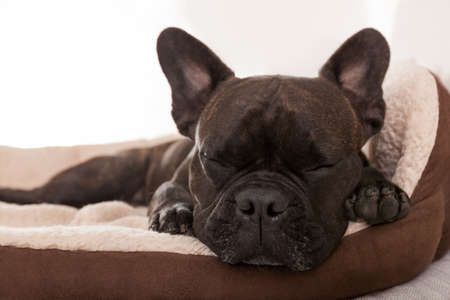 french bulldog dog having a sleeping and  relaxing a siesta in living room Stock Photo