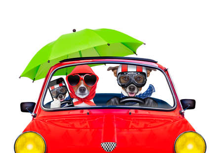taking a wife: couple of jack russell just married dogs driving a car for summer vacation holidays or honeymoon , isolated on white background, wife taking a selfie for friends Stock Photo