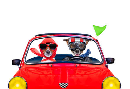 racing car: couple of jack russell just married dogs driving a car for summer vacation holidays or honeymoon , isolated on white background