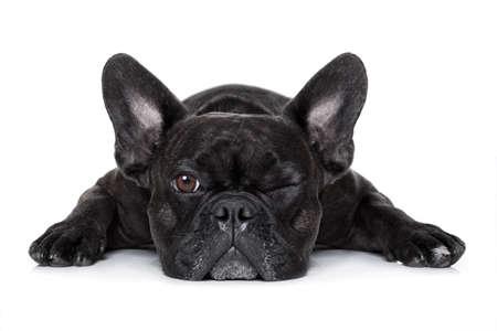 フレンチ ブルドッグ犬疲れや疲れ、見て、支配欲が強い、白い背景で隔離のようなあなたを見つめて 写真素材