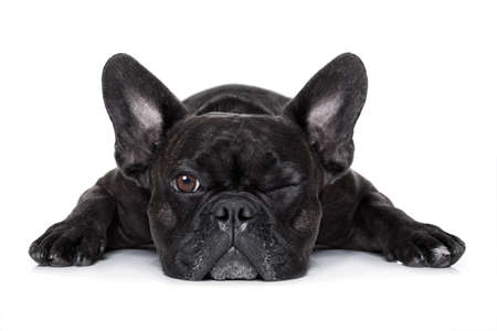 restrain: french bulldog dog exhausted or tired ,watching and staring at you like a control freak, isolated on white background Stock Photo