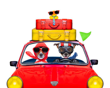couple of jack russell just married dogs driving a car for summer vacation holidays or honeymoon , isolated on white background, stack of luggage or bags on top