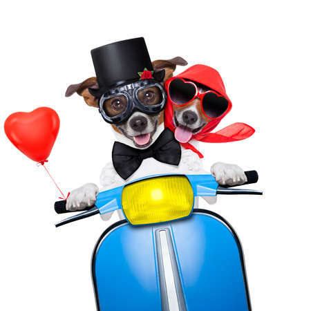 honeymoon couple: couple of just married jack russell dogs driving a funny motorbike vespa  for vacation holidays and honeymoon, isolated on white background