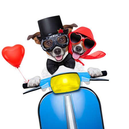 luna de miel: par de jack russell perros sólo casada conduciendo una moto vespa divertida para las vacaciones de vacaciones y luna de miel, aislado en fondo blanco