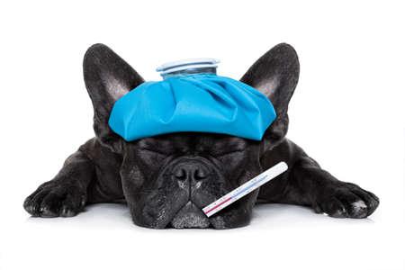 veterinario: perro bulldog francés muy enfermo con bolsa de hielo o una bolsa en la cabeza, los ojos cerrados y el sufrimiento, el termómetro en la boca, aislado en fondo blanco