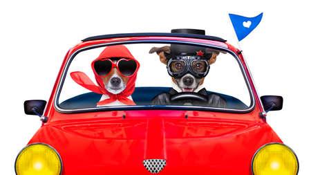 perros graciosos: par de jack russell perros sólo casada conduciendo un coche divertido para las vacaciones de vacaciones y luna de miel, aislado en fondo blanco