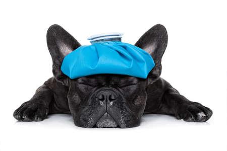 dolor de cabeza: perro bulldog francés muy enfermo con bolsa de hielo o en la cabeza, los ojos cerrados y el sufrimiento aislados sobre fondo blanco Foto de archivo