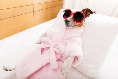 spas: jack russell dog relaxing  and lying, in   spa wellness center ,wearing a  bathrobe and funny sunglasses Stock Photo