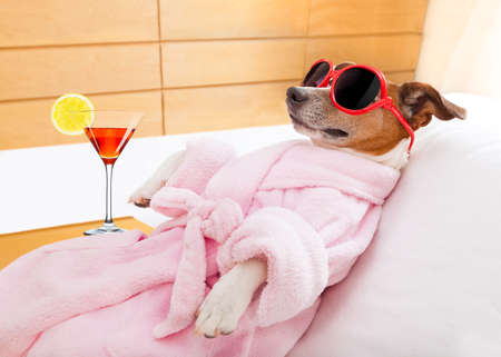 pet grooming: jack russell dog relaxing  and lying, in   spa wellness center ,wearing a  bathrobe and funny sunglasses , martini cocktail inlcuded Stock Photo