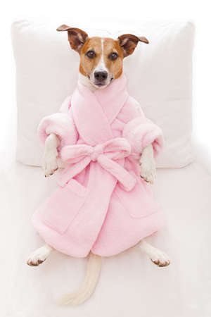 napping: jack russell dog relaxing  and lying, in   spa wellness center ,wearing a pink  bathrobe