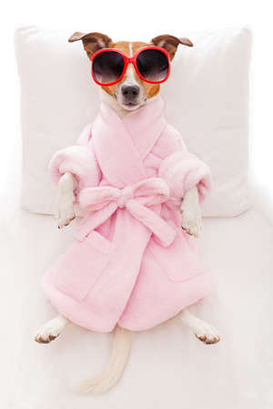 bed: jack russell dog relaxing  and lying, in   spa wellness center ,wearing a  bathrobe and funny sunglasses Stock Photo