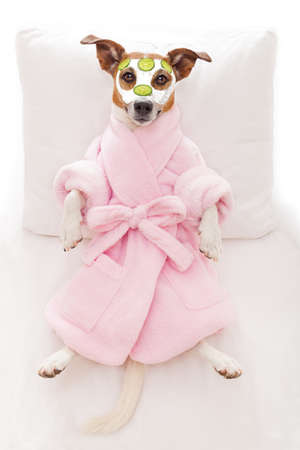 salon spa: jack russell dog relaxing  and lying, in   spa wellness center ,getting a facial treatment with  moisturizing cream mask and cucumber