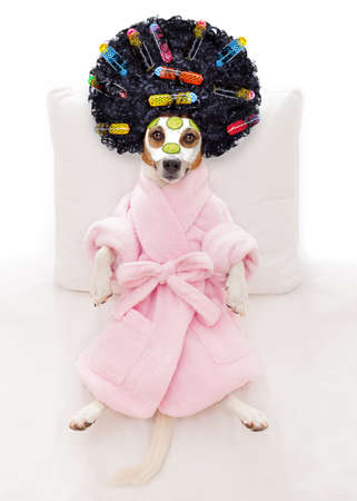 jack russell dog relaxing  and lying, in   spa wellness center ,getting a facial treatment with  moisturizing cream mask and cucumber and hair rollers