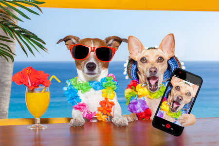 holiday pets: two funny drunk dogs with a summer cocktail ,while taking a selfie with a smartphone telephone , on summer vacation holidays