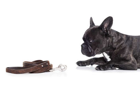 restrain: french bulldog dog waiting and begging to go for a walk with owner , sitting or lying on the ground, leather leash on the floor Stock Photo