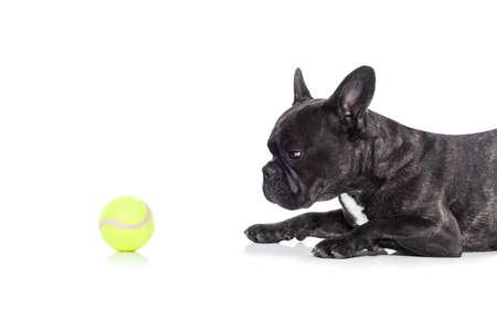 marcheur: bouledogue français chien prêt à jouer et avoir du plaisir avec le propriétaire et balle de tennis jouet, isolé sur fond blanc