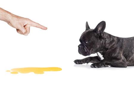 fransk bulldogg hund straffas för urinera eller kissa hemma av sin ägare, isolerad på vit bakgrund Stockfoto