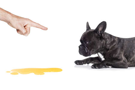 angry dog: perro bulldog francés siendo castigado por orinar o pis en casa por su propietario, aislado en fondo blanco