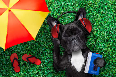 oldies: french bulldog dog  listening to oldies with headphones