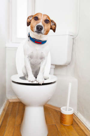 inodoro: jack russell terrier, sentado en un asiento de inodoro con problemas de digesti�n o estre�imiento mirando muy triste Foto de archivo