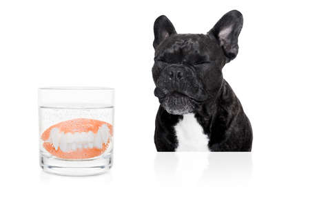 fake smile: french bulldog dog  with false  set  of prosthetic teeth , cleaning in a glass of water