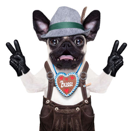 animal idiot: silly crazy  pug dog dressed up as bavarian with gingerbread as collar