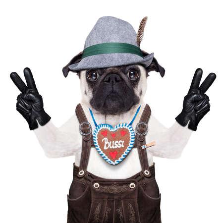 dressed up: pug dog dressed up as bavarian,isolated on white background