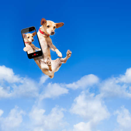 freedom nature: chihuahua dog flying and jumping in the air , blue sky as backdrop, funny and crazy face, taking a selfie with smartphone Stock Photo