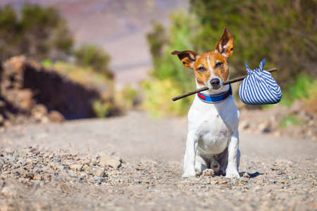dog sitting: jack russell dog abandoned and left all alone on the road or street, with luggage bag  , begging to come home to owners, Stock Photo
