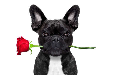 valentines  french bulldog dog in love holding a rose with mouth , isolated on white background