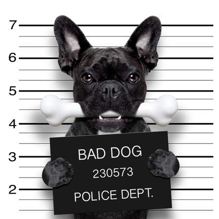 funny cute french bulldog holding a placard while a mugshot is taken, bone in mouth and guilty Foto de archivo