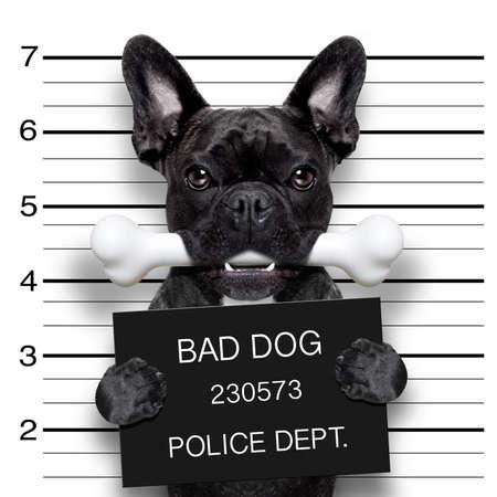 perro policia: divertido bulldog francés lindo que sostiene un cartel mientras se toma una ficha policial, el hueso en la boca y culpable Foto de archivo
