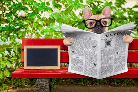 bulldog: bulldog franc�s perro leer un peri�dico o una revista sentada en un banco en el parque, relajante, vac�o pizarra en blanco al lado Foto de archivo
