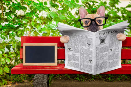 placard: french bulldog dog reading a newspaper or magazine sitting on a bench at the park, relaxing , empty blank blackboard beside Stock Photo