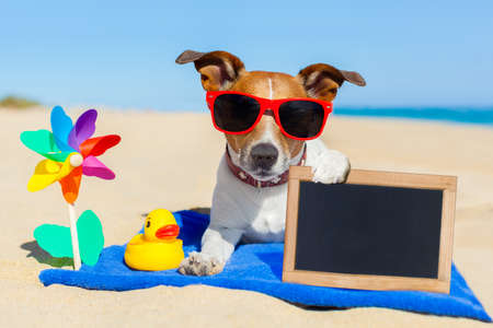 sands: jack  russell dog at the beach on a blue towel , holding an empty blank blackboard or banner, on summer vacation holidays