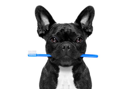 dental plaque: french bulldog dog holding toothbrush with mouth at the dentist or dental veterinary, isolated on white background