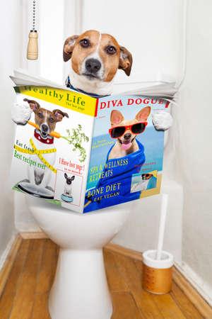 perros graciosos: jack russell terrier, sentado en un asiento de inodoro con problemas de digesti�n o estre�imiento leer la revista de chismes o peri�dico