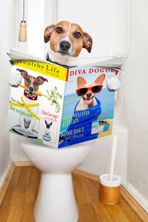 poo: jack russell terrier, sitting on a toilet seat with digestion problems or constipation reading the gossip magazine or newspaper